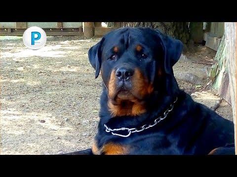 Владельцу ротвейлера нужен совет aggressive rottweiler