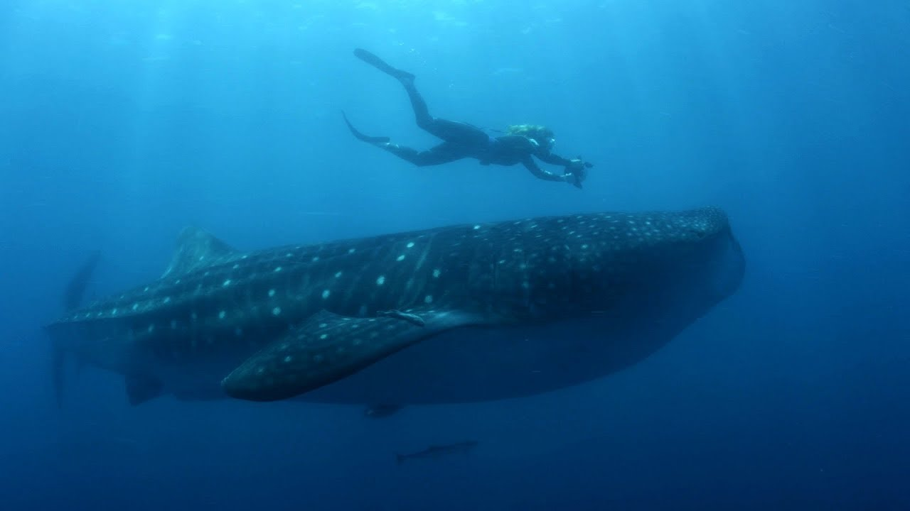 Diver swimming above a large whale.