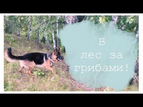 VLOG: В лес за грибами//Напали быки//Немецкая Овчарка🐂🌲🍄