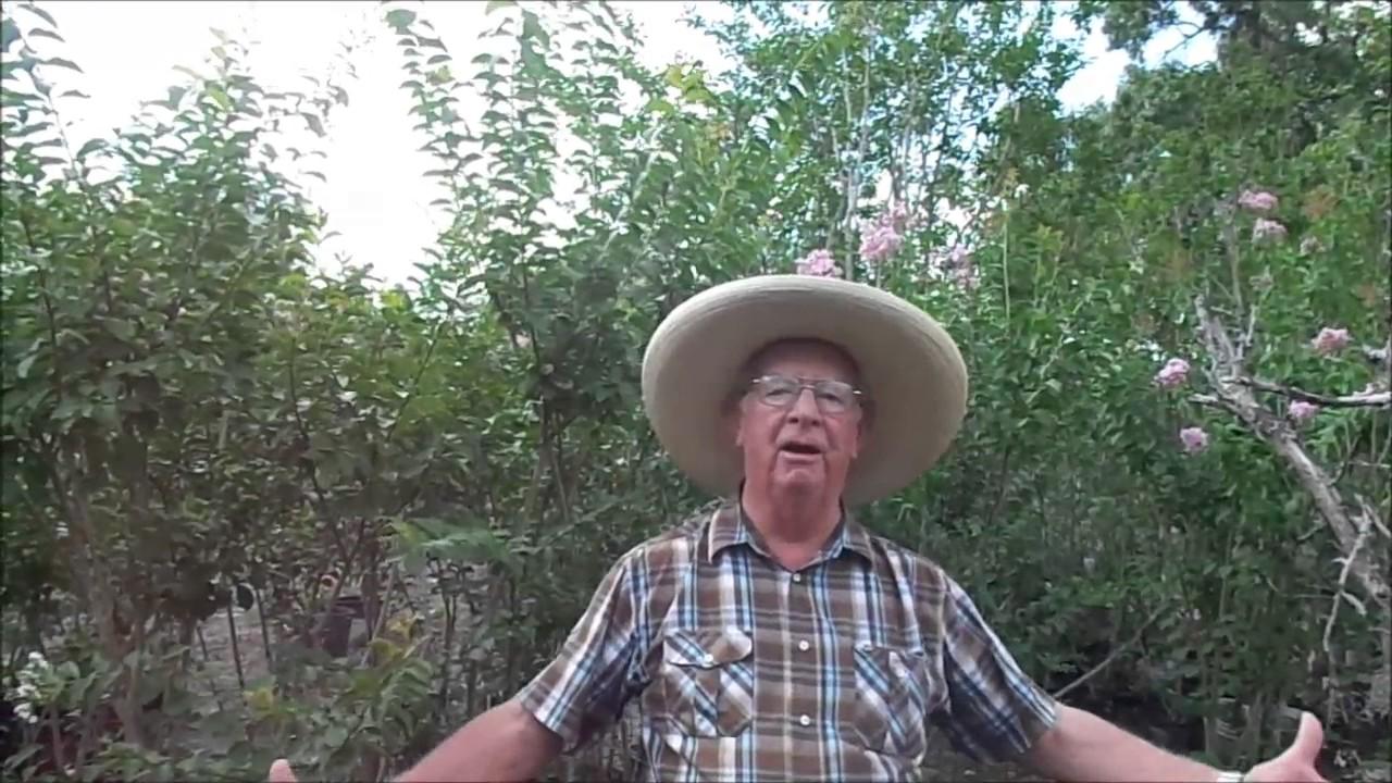 Crepe Myrtle Time Huge Myrtles By Richard Skinner Hawkins Corner Nursery
