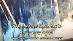 Wolf, Bobcat footage from Sawyer County, Wisconsin