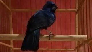 Vejam o comportamento de um Azulão corrido/afinado!