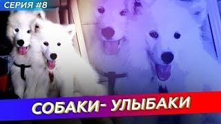Самоеды собаки-улыбаки!