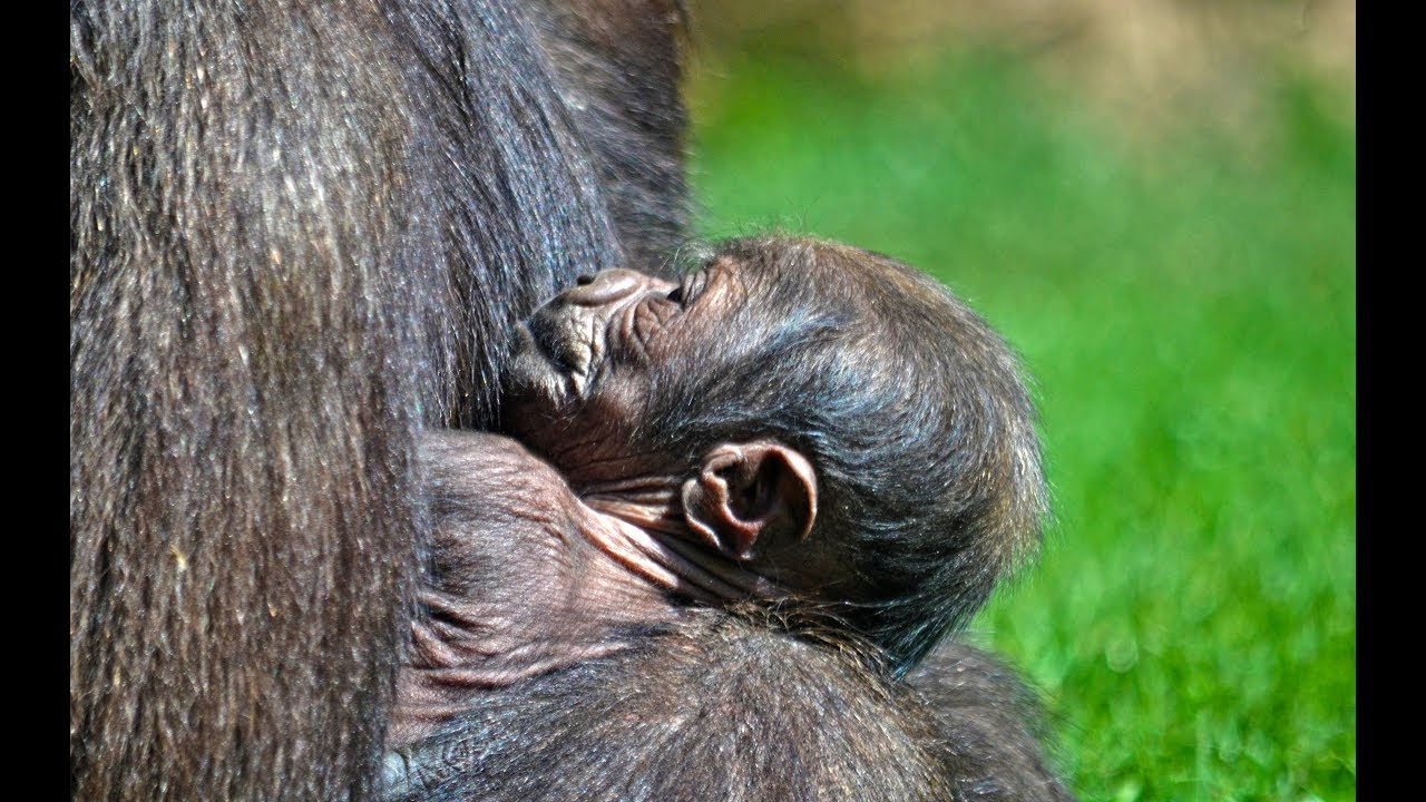 acc76fc748cc Nace un bebé gorila en BIOPARC Valencia (abril 2019) - YouTube