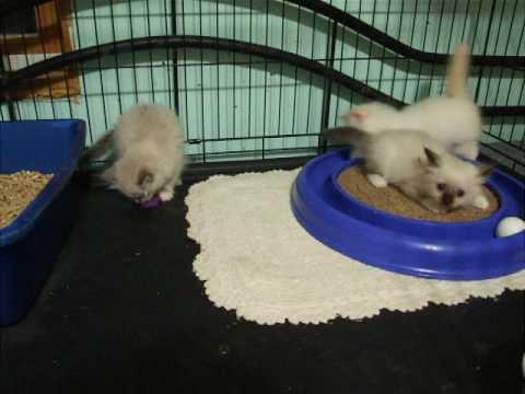 Birman kittens  7 wks old