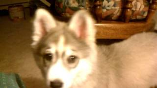 3 Month Old Husky Akita Mix Puppy