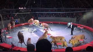 Шоу Бенгальские тигры. Новосибирский государственный цирк