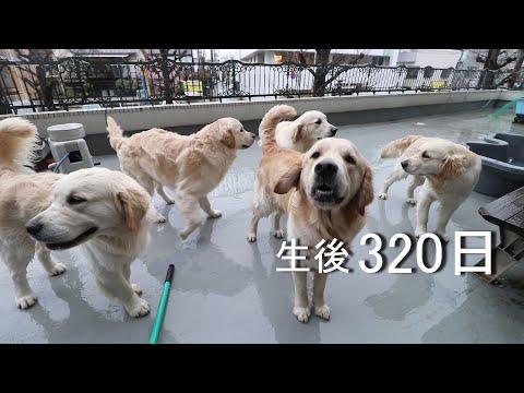 アイン村  チロの子生後320日目  子どもたち5子集合 アナン、アウルお散歩 2019.3.11(GoldenRetriever)