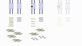 Mutaciones con efecto dominante negativo