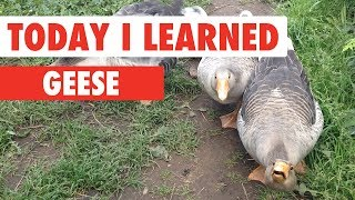 Today I Learned: Geese