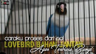 Download lagu proses lovebird bahan jantan agar terbiasa bunyi