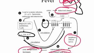 TNF and IL1 systemic effects