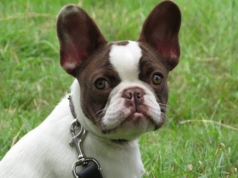 Harvey - French Bulldog Puppy - 12 Day Residential Dog Training