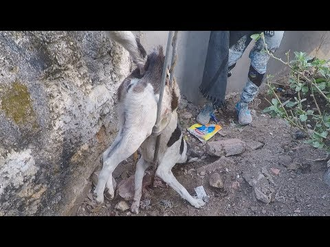 Shocking rescue of dog impaled by steel rod