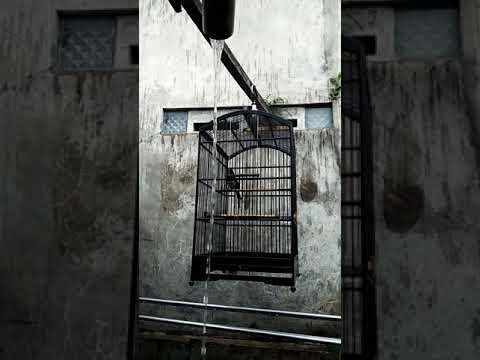 Kacer ngoceh saat mandi hujan thumbnail