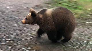 Во что играют медведи?
