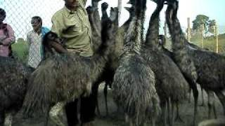 emu farming in india uttar pradesh u p   lucknow 9235662893