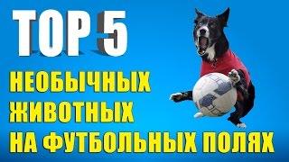 ТОП-5 самых необычных животных на футбольных полях