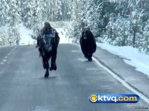Wild Photos Capture Grizzly Chasing Bison in Yellowstone National Park - BEAR VS BISON