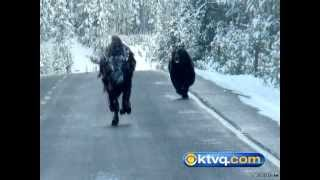 Wild Pos Capture Grizzly Chasing Bison in Yellowstone National Park - BEAR VS BISON