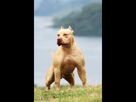 Chó Pitbull Cơ Bắp Khủng