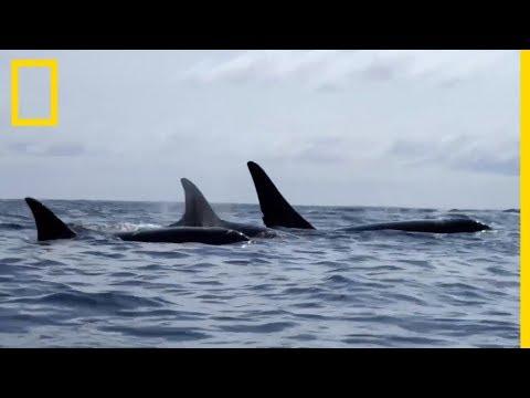 Ces orques tendent une embuscade à des baleines grises