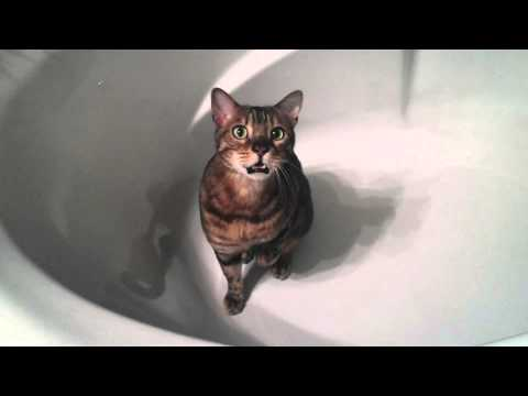 Bengal cat chirping in a bathtub