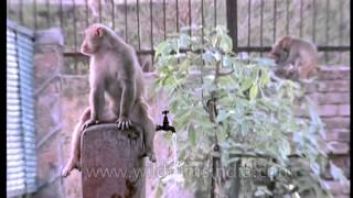 Macaque Drinking Water From A Tap On A Hot Indian Summer Day