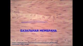 Гистологический преперат