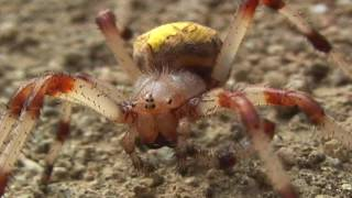 Araneus quadratus - Паук Крестовик