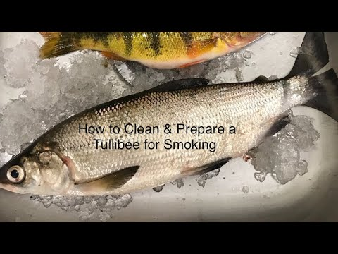 How to Clean & Prepare a Tullibee / Whitefish for Smoking!!