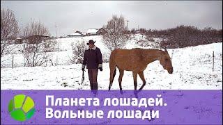 Планета лошадей. Вольные лошади | Живая Планета