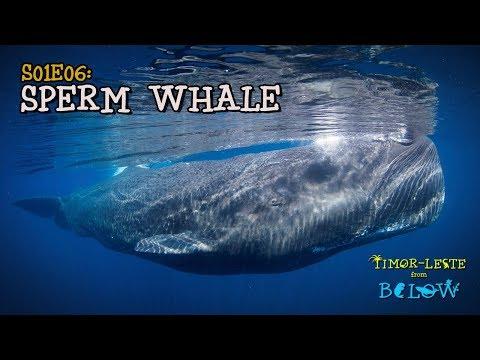 Sperm Whale: Largest Predator on the Planet [4K]   Timor-Leste from Below (S01E06)   SZtv