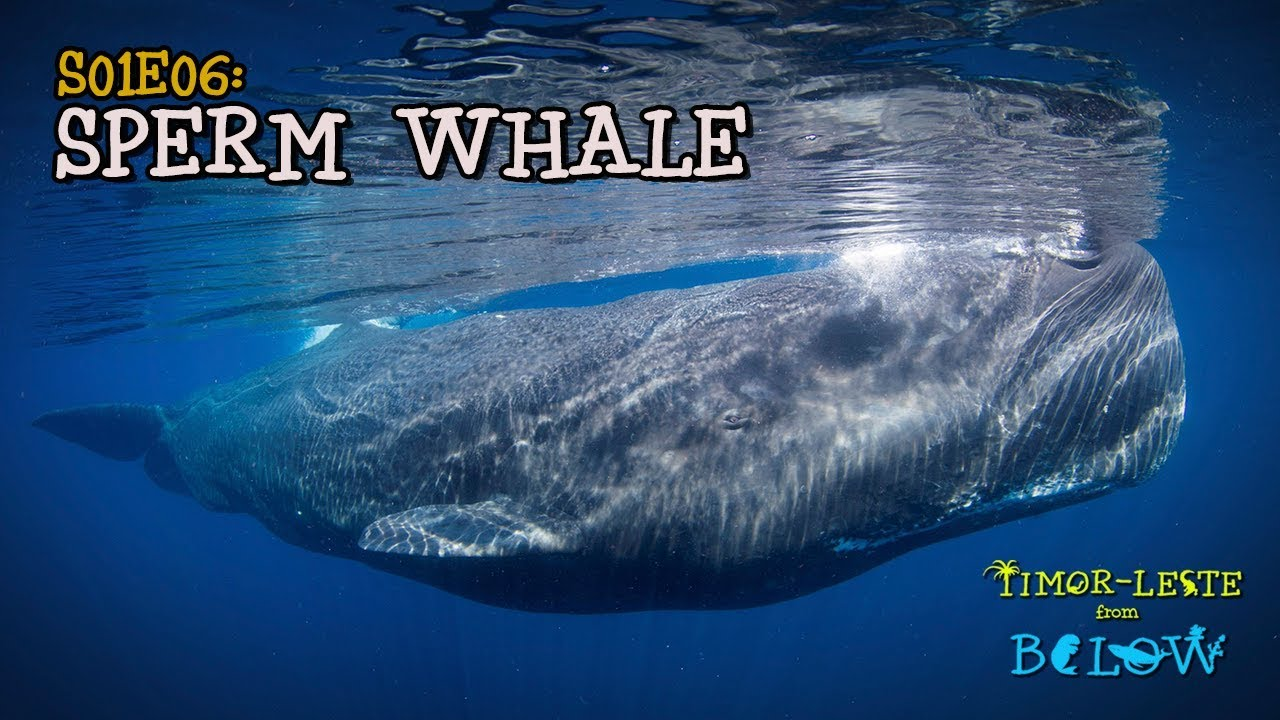 Amusing opinion sperm whale preditors