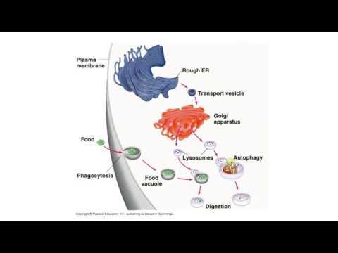 Биология в картинках:  Механизм работы лизосом(Вып. 62)