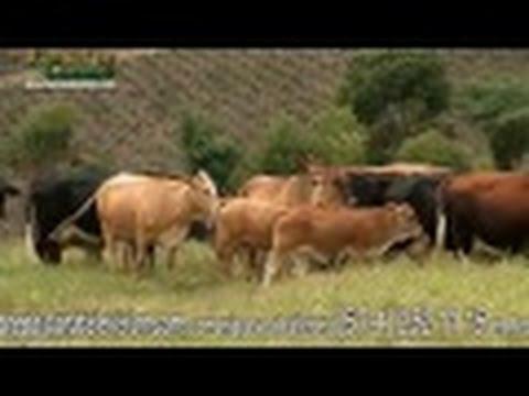 ganaderia-simmental-y-blonde-d'aquitaine-hacienda-bellavista--tvagro-por-juan-gonzalo-angel