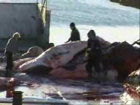 whaling at all over the world
