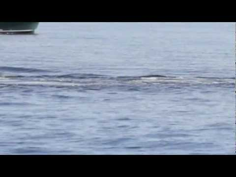 Humpback Whale getting harrased by a group of Steller Sea Lions off of San Juan Island, WA.