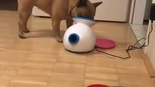 Dogs of instagram  brown french bulldog puts blue ball and objects that won't fit into fetch machine