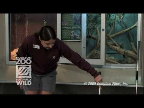Handling Venomous Snakes At The Houston Zoo