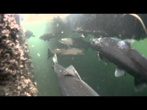 Biggest Brown Trout in the World Underwater footage