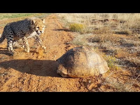 Cheetah Gets Spooked Out By Tortoise Hiding In Its Shell