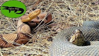 Cottonmouth VS Copperhead!