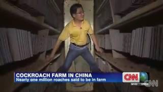 Cockroach Farm - China