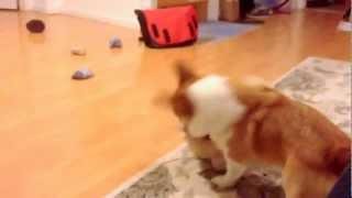 Cute Corgi Yuki Won't Fetch Without Stuffed Animal