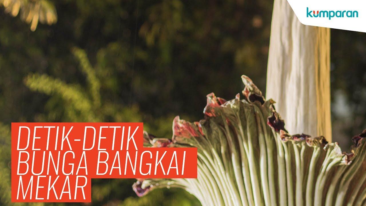 Download 93 Gambar Bunga Raflesia Terindah Gratis