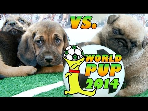 World Pup - Bloodhounds vs. Pug Puppies
