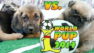 World Pup  Bloodhounds vs. Pug Puppies