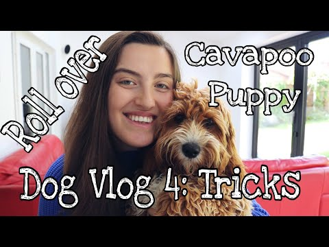 CAVAPOO PUPPY TRAINING | DOG VLOG 4 - ROLL OVER