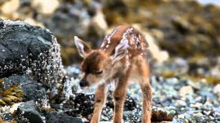 new born deer  4kfilms.ca